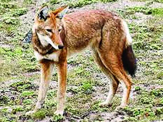 Wolf attack on farm laborers; 9 injured | शेतात काम करणाऱ्या मजुरांवर लांडग्याचा हल्ला;९ जण जखमी