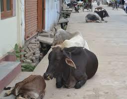 On injured Gomat at Thangaon   ठाणगाव येथे जखमी गोमातेवर उपचार करून माणुसकीचे दर्शन