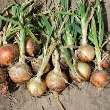 Onion will also cry next year due to premature rains | अवकाळी पावसामुळे कांदा पुढच्या वर्षीही रडवणार