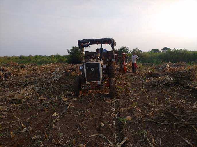 Acceleration of maize sowing in Rajapur area   राजापूर परिसरात मका सोंगणीला वेग