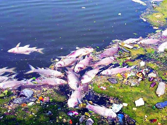 Thousands of fish die in Mirajet mine | मिरजेत खणीत हजारो मासे मृत्युमुखी