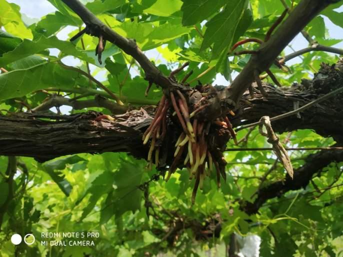 The horticulturists of Akalkot have broken their hips   अक्कलकोटमधील बागायतदारांचे कंबरडे मोडले