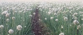 Millions cheated by bogus onion seeds | बोगस कांदा बियाणांमुळे लाखोंची फसवणूक