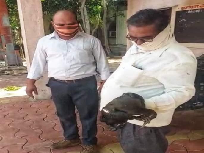The postmaster gave life to the naughty bird | पोस्टमास्तरांनी दिले शराटी पक्ष्याला जीवदान