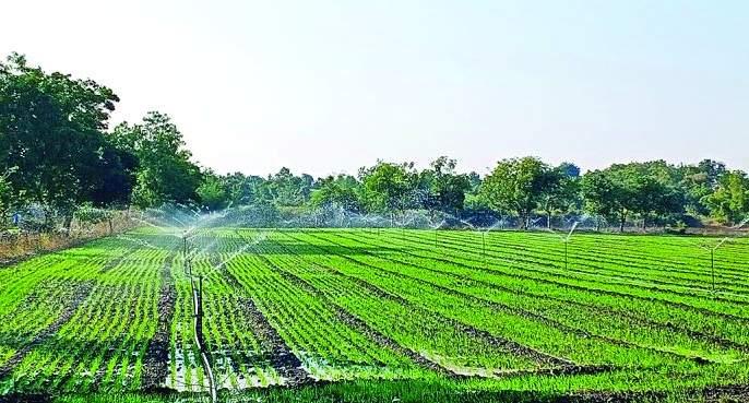 Farmer likes Gram than wheat for sowing | गव्हापेक्षा शेतकऱ्यांची हरभऱ्याला अधिक पसंती!