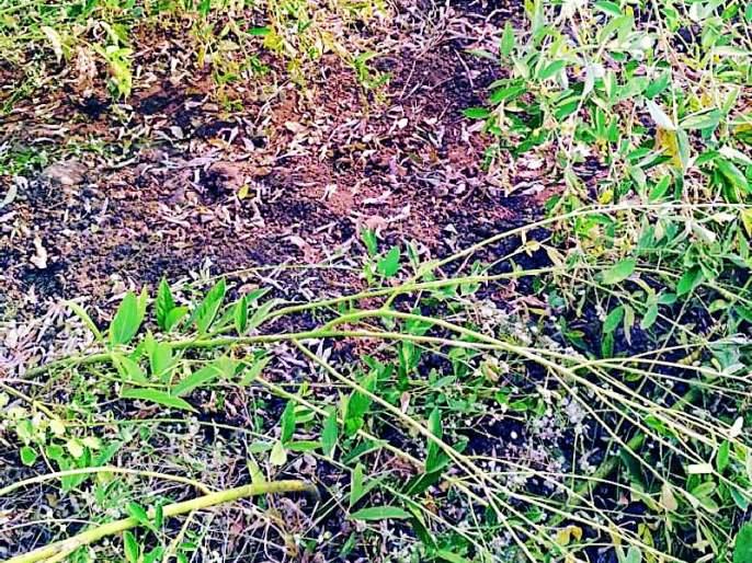 Diseases of wild animals, damaged vertical crops | वन्यप्राण्यांचा हैदोस, उभ्या पिकांचे नुकसान
