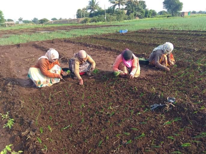 In the changing weather, onions are planted with onion seedlings | बदलत्या हवामानात कांदा रोपासह लागवड कांद्यावर अरिष्ट