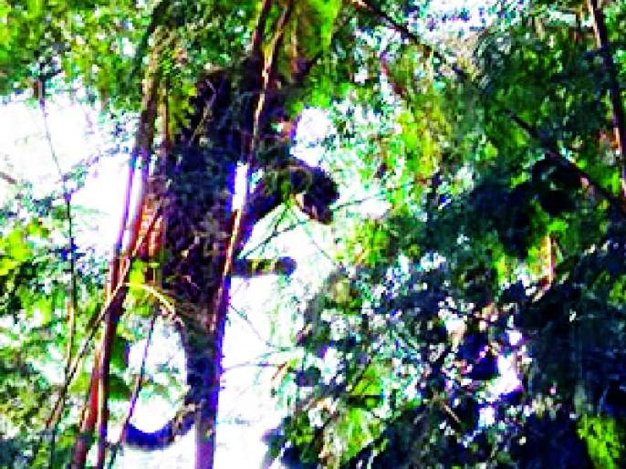 Leopard Shelter on a tree | बिबट्याने घेतला झाडावर आश्रय