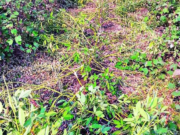 Destruction of vertical crops from wild animals   वन्य प्राण्यांकडून उभ्या पिकांची नासाडी