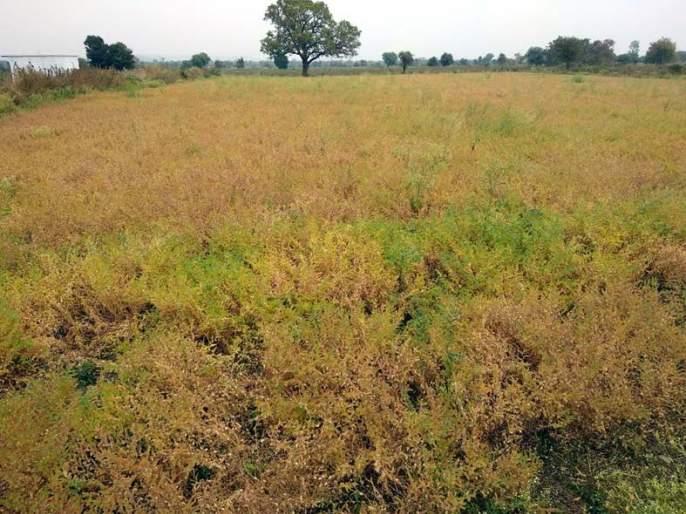 Due to the cloudy weather, the deficit on Chana in Wardha district | ढगाळ वातावरणामुळे वर्धा जिल्ह्यातील हरभऱ्यावर घाटेअळी