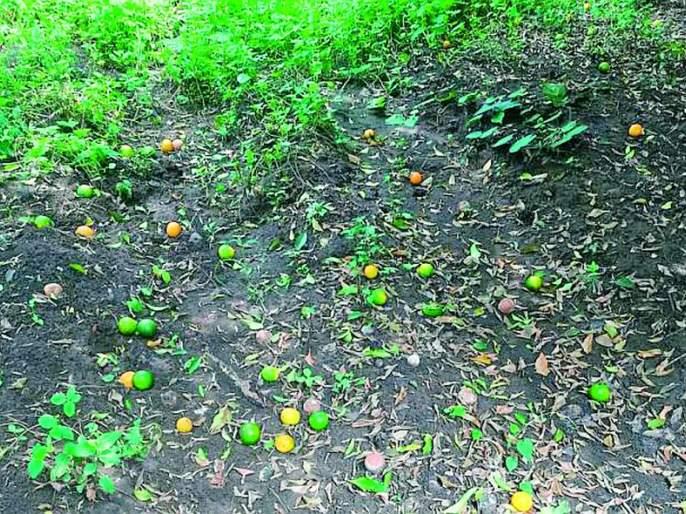 Risk of leakage of orange fruit due to overheating | अतिउष्णतेमुळे संत्रा फळांच्या गळतीचा धोका
