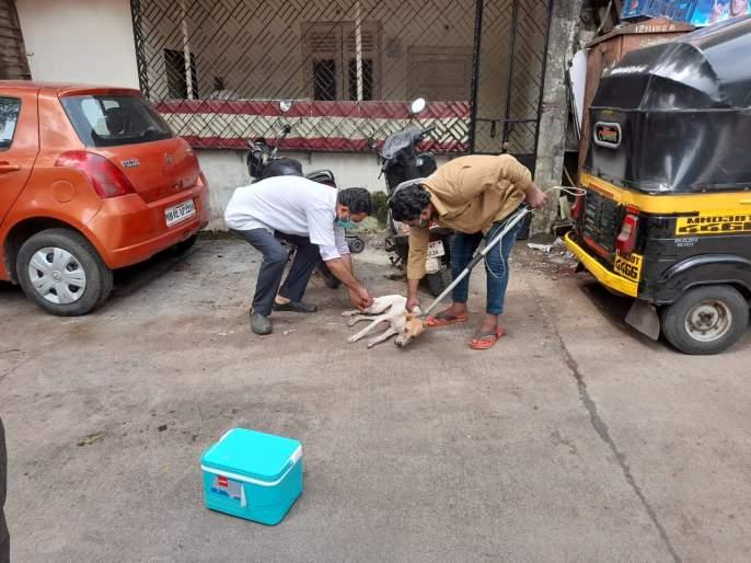 Rabies vaccination of stray dogs has gained momentum | भटक्या कुत्र्यांच्या रेबीज लसीकरणाने पकडला वेग