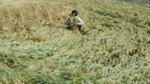 Large losses due to return of kharif crop in Otur area | ओतुर परीसरात खरीप पिकाचे परतीच्या पावसाने मोठे नुकसान