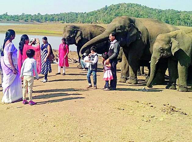 Gadchiroli and Gondia elephants will be shifted in Tadoba and Pench | गडचिरोली व गोंदियातील हत्तींचे होणार पेंच व ताडोबात स्थानांतर