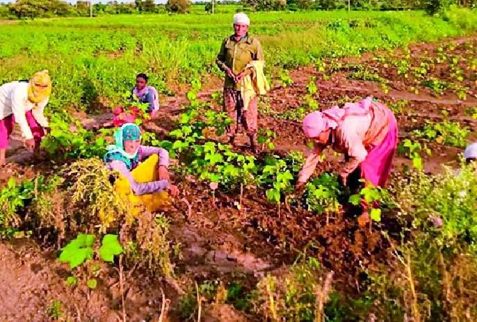 Cotton weeds did not get labor   कपाशीच्या निंदणाला मजूरच मिळेना