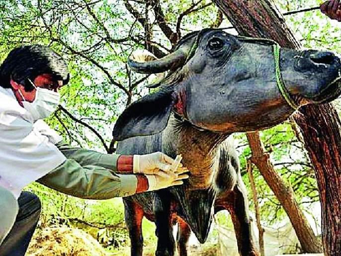 Vaccination given to 3.50 lakh animals   ३.५० लाख जनावरांना दिली लाळखुरकत लस