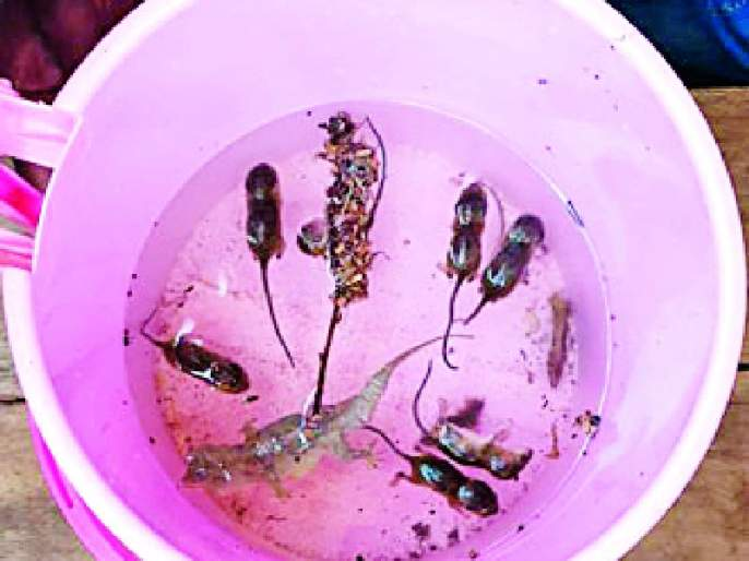 Roasted rats and litter found in the water tank | पाण्याच्या टाकीत आढळले कुजलेले उंदीर व पाली