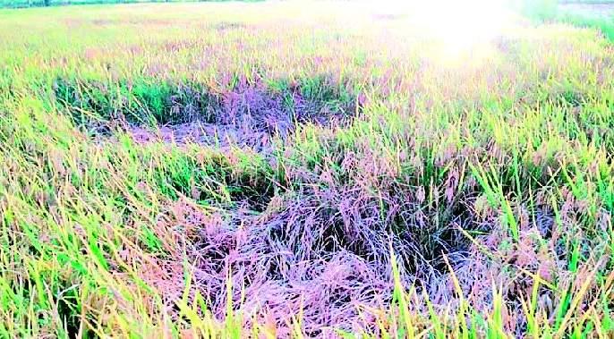 Infection of summer grains   उन्हाळी धानाला तुडतुड्याची लागण