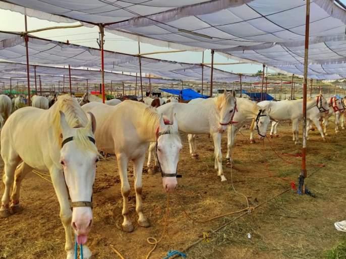 Equestrian race to be played at Sarangkheda Yatra | सारंगखेडा यात्रोत्सवात रंगणार अश्वशर्यती