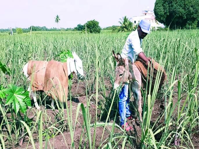 Donkeys are getting help for farming! | आता शेतीकामासाठी बळीराजा घेतोय गाढवाची मदत !