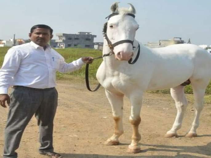 A 'cloud' of 3 lakhs rides to the Sarangkhed | ५१ लाखांच्या 'बादल'ची निघाली सारंगखेड्याला स्वारी