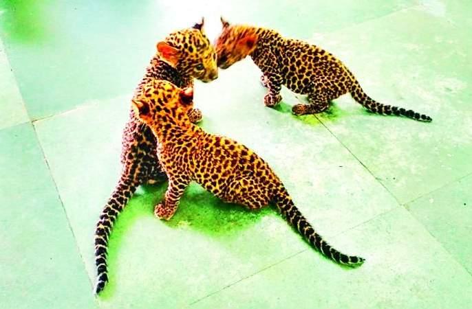 Three cubs of 'that' leopard from Gorewada got adopted parents | गोरेवाडातील 'त्या' बिबटाच्या तीन पिलांना मिळाले दत्तक पालक
