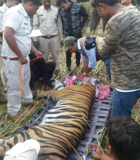 Tiger trapped in Chandrapur district | चंद्रपूर जिल्ह्यातील हल्लेखोर वाघाला केले जेरबंद