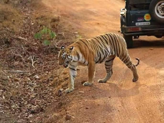 'Maya' tigress turns out to be 'celebrity' for tourists in Tadoba | 'माया' झाली ताडोबात पर्यटकांसाठी 'सेलिब्रिटी'