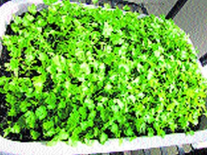 Sprinkle cilantro for 5 thousand rupees   कोथिंबीर १८ हजार रु पये शेकडा