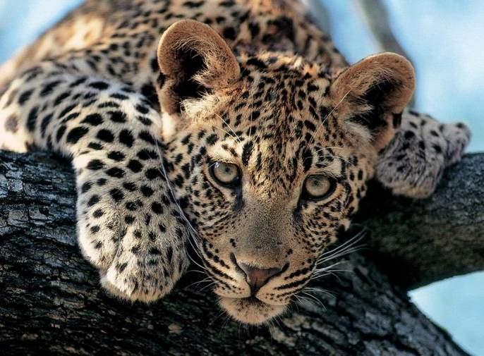 Gadchiroli's Panic of leopard Panic; The calf killed | गडचिरोलीत बिबट्याची दहशत; वासराला केले ठार