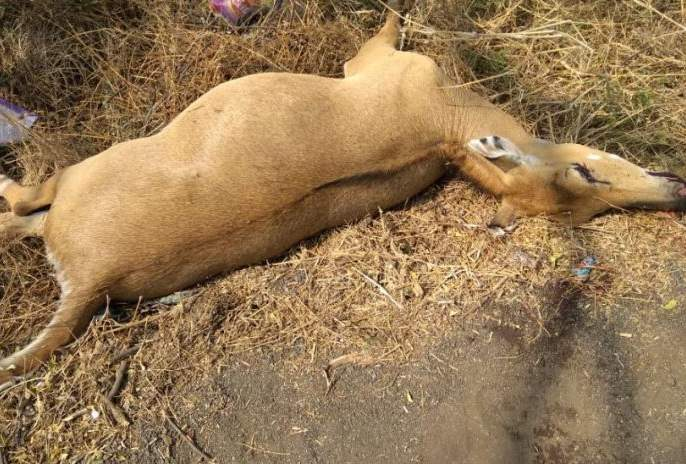 Two cars hit the wild animal in Amravati district | अमरावती जिल्ह्यात भरधाव कारची दोन रोहींना धडक