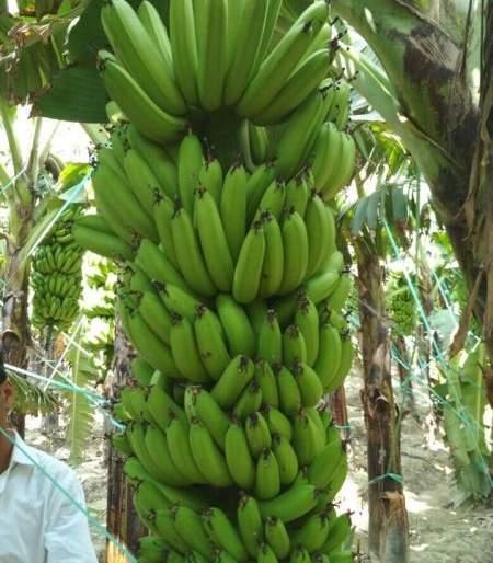 Banana garden by patients of Nagpur Mental hospital   उपराजधानीतील मनोरुग्णांनी फुलवली केळीची बाग