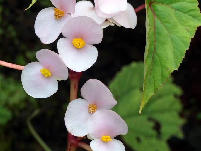 A new species of Begonia plant found in the Western Ghats | पश्चिम घाटात सापडली बेगोनिया वनस्पतीची नवीन जात