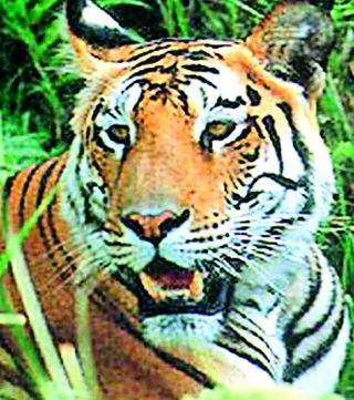 The fear of the tiger in the election | चुनाळ्यात वाघाची भीती