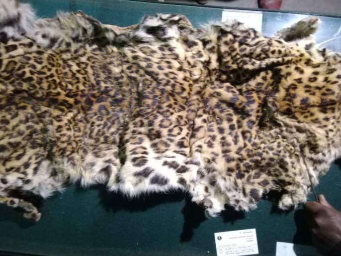 10 lakhs of leopard seized in Kalvan taluka   कळवण तालुक्यात बिबट्याची १० लाखांची कातडी जप्त