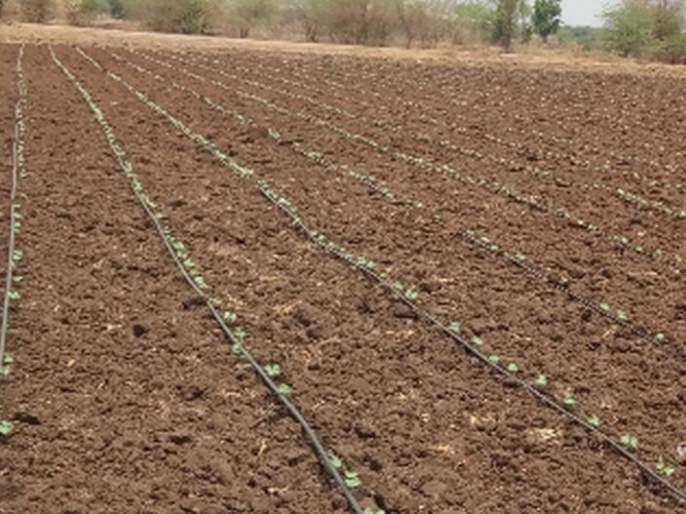 The final phase of planting of cotton | कपाशी लागवडीचे काम अंतिम टप्प्यात