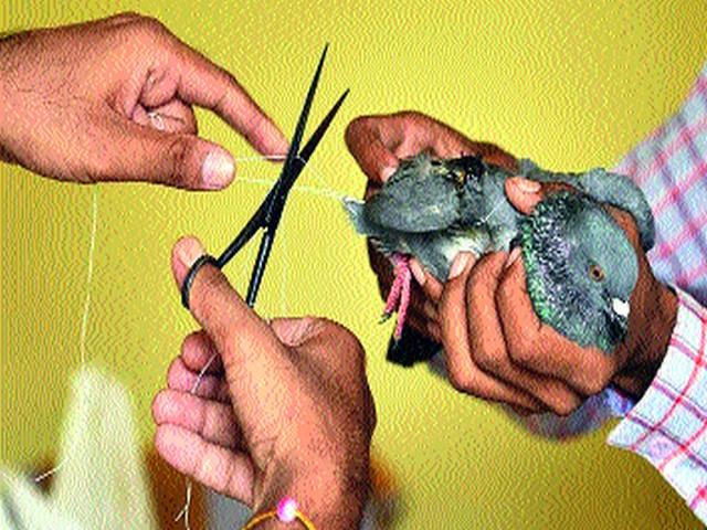Throughout the year, nylon bows cut through 6 birds   वर्षभरात नायलॉन मांजाने कापले १५० पक्ष्यांचे पंख