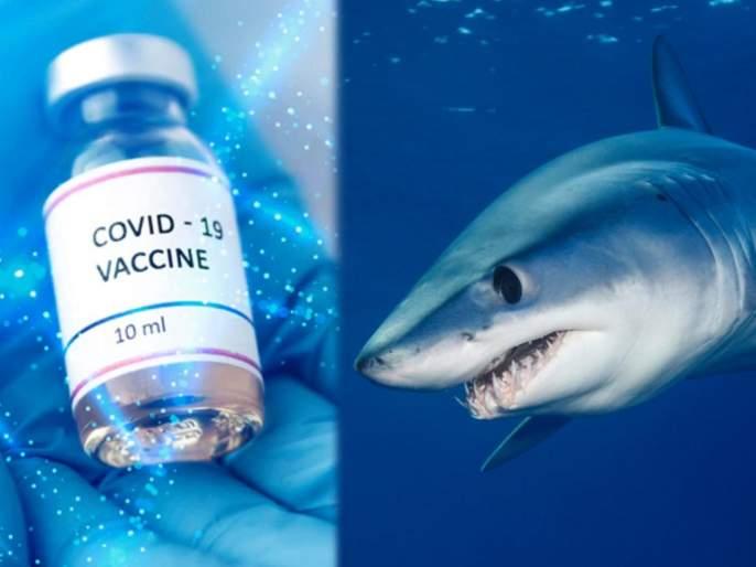 5 lakh sharks to be killed for covid 19 vaccine doses say expert | धक्कादायक! कोरोना वॅक्सीनसाठी तब्बल ५ लाख शार्कची केली जाणार हत्या, वापरलं जाणार माशाचं तेल