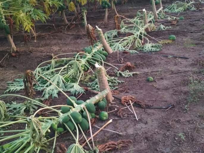 Damage by cutting and cutting papaya trees in the field | शेतातील पपईची झाडे कापून फेकल्याने नुकसान