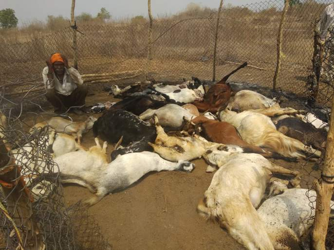 32 goats killed in power outage | विजेची तार तुटून पडल्याने येथील ३२ शेळ्या ठार