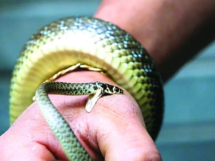 Snake bite; Accident? Confusion within the doctors   सर्पदंश; अपघात की घटना? डॉक्टरांतच संभ्रम