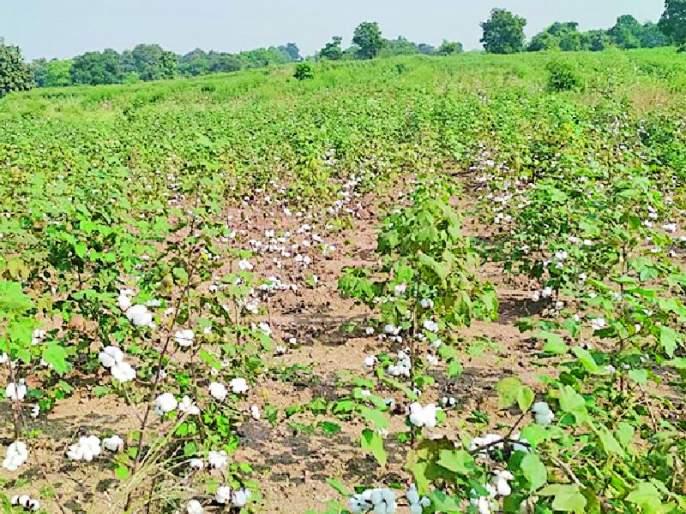 A double crisis on the cotton producing farmers in the district | जिल्ह्यातील कापूस उत्पादक शेतकऱ्यांपुढे दुहेरी संकट