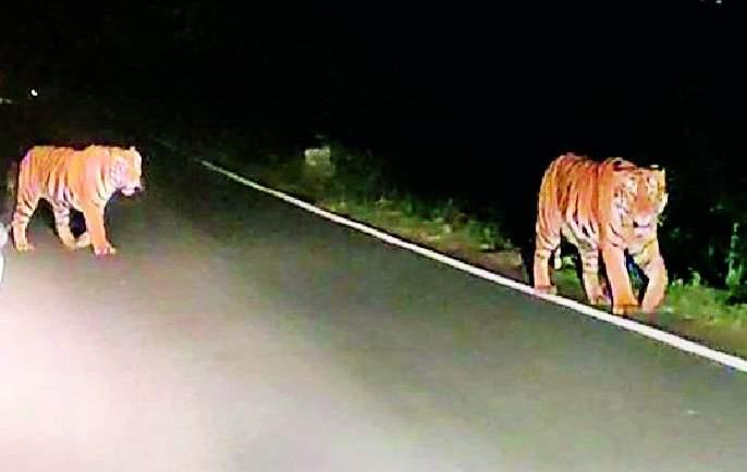 Two tigers appear on Mul-Maroda road | मूल-मारोडा रस्त्यावर दोन वाघांचे दर्शन