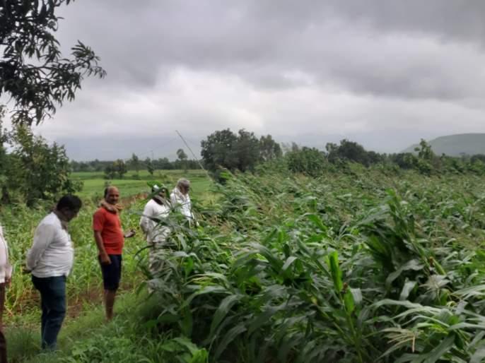 Maize crop leveled in Baglan taluka due to rains   बागलाण तालुक्यात पावसाने मका पीक भुईसपाट