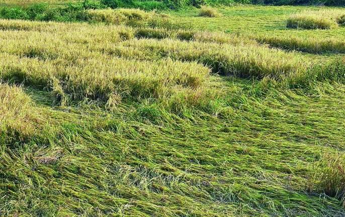 148 crore loss in Nagpur region due to return rains | परतीच्या पावसामुळे नागपूर विभागात १४८ कोटींचे नुकसान