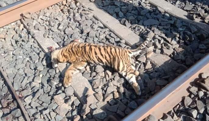 Two bulls of tigers killed in Chandrapur district and killed two calves | चंद्रपूर जिल्ह्यात रेल्वेखाली येऊन वाघाचे तीन बछडे ठार