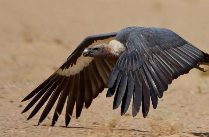 An increase in the number of endangered vultures in the country | देशातील लुप्त होणाऱ्या गिधाडांच्या संख्येत वाढ