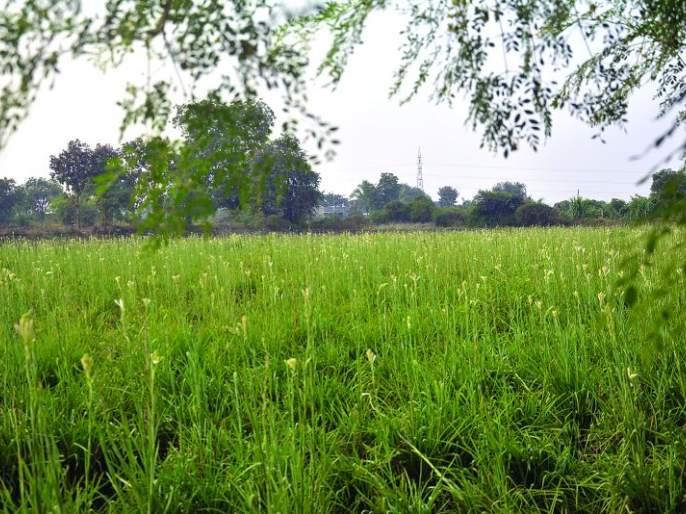 Production of 10 lakhs in one acre year from flower farming   फूल शेतीतून एका एकरात वर्षाला १० लाखांचे उत्पादन