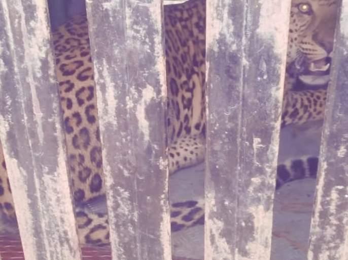 A second detainer in eight days in Vichuradalvi Shivar | विंचुरदळवी शिवारात आठ दिवसात दुसरा बिबट्या जेरबंद
