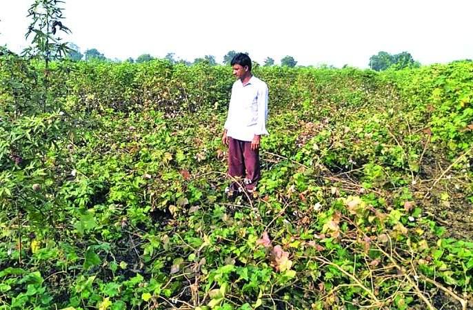 Washim: 2.50 lakh farmers afected due to rains! | वाशिम : २.५० लाख शेतकऱ्यांना अवकाळी पावसाचा फटका!